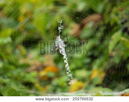 A Large Banana Spider Spins His Web Between Two Large Bushes.