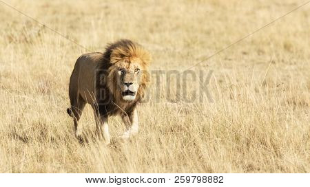Adult male lion walking through the long grass of the Masai Mara. Space for text.