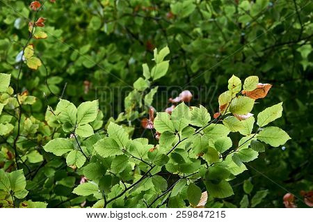 Tree Branch, Focus On Leaves - Forest Background.