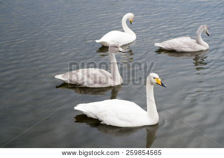 Swans Gorgeous On Grey Water Surface. Animals Natural Environment. Waterfowl With Offspring Floating