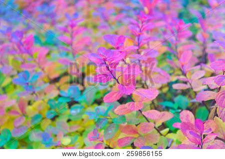 Red And Colorful Leaves Branch Close Up. Autumn Season. Colorful Autumn Leaves. Autumn Foliage Conce