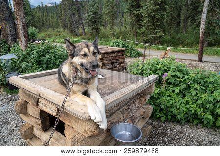 Alaskan husky sled dog sits on top of his kennel dog house in Denali National Park poster