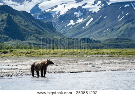 Coastal Alaska Brown Bear Wanders Along The River, Looking And Fishing For Salmon In Katmai National