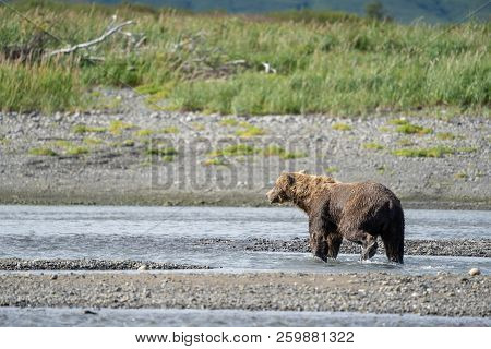 Alaskan Coastal Brown Bear (grizzly) Walks Along The Beach At Katmai National Park