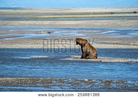 Alaskan Coastal Brown Bear Searches For Fish In A River At Katmai National Park