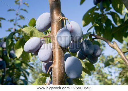 Plum tree over a blue sky