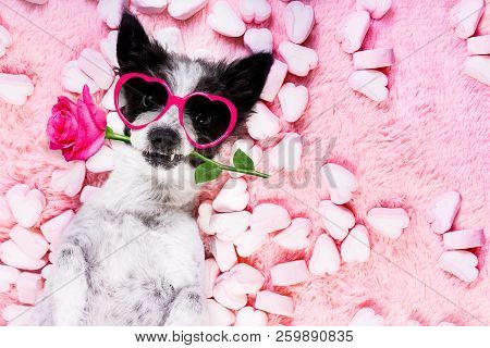 Dog Looking And Staring At You   ,while Lying On Bed With Valentines Rose In Mouth,  In Love, Marshm