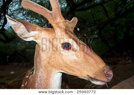 Young deer buck in woods in the night, India