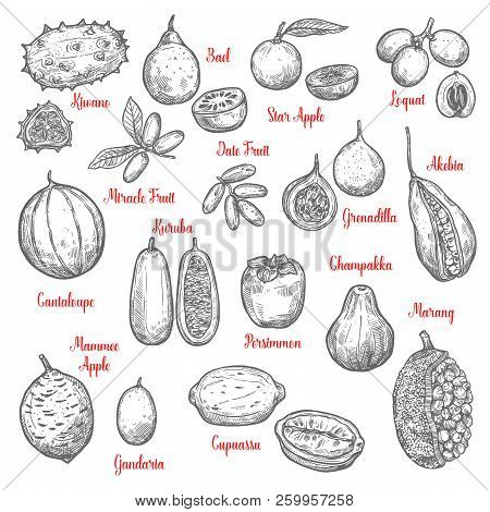 Juicy Exotic Fruits Sketches. Kiwano And Bael, Star Apple And Loquat, Date, Miracle Fruit, Akebia An