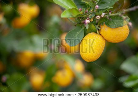Lemons and flowers against a blurry background of other fruit.
