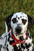 Lucky the Dalmatian waits for his dog cookie poster