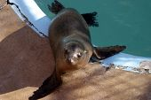 a california sea lion  (zalophus californianus) sits by its pool in a marine mammal rescue station poster