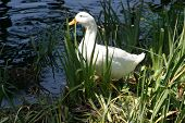 a white duck hides in the grass in a pond poster