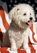 a Bichon Frise Dog smiles while on an American Flag poster