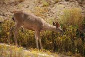 "wild mule deer ""Odocoileus hemionus"" enjoy life in the hills of Southern California poster"