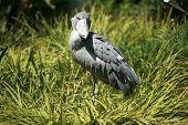 "a Shoebill Stork  ""Balaeniceps rex"" aka Whalehead from tropical east Africa enjoys life poster"