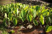 "taro plant ""colocasia esculenta"" growing on maui hawaii, a hawaiian food staple poster"