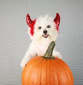 Fifi the Purebred Bichon Frise smiles as she modesl in her DEVIL DOG costume with her pumpkin against a black and white background poster