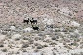 wild donkeys aka burrows or ass live all around in the nevada desert free range poster