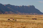 Wild horses in Arizona, USA. poster