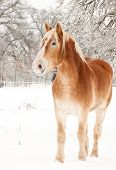 Handsome Belgian Draft horse in winter, with snow on his lips poster