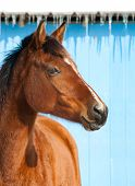 Bay horse against blue barn on a cold sunny winter day poster