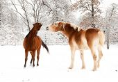 And old horse and a young horse playing in snow on a cold gray winter day poster