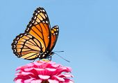 Brilliant Viceroy butterfly feeding on a bright pink Zinnia against blue skies poster