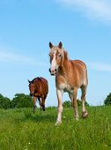 Two horses in a lush spring pasture against blue sky poster