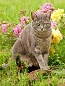 Beautiful blue tabby kitty cat against colorful flower background after rain poster