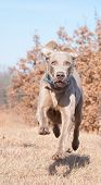 Weimaraner dog running at full speed towards the camera poster