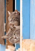 Two beautiful blue tabby cats peeking out of a barn door poster