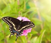 Dorsal view of a Eastern Black Swallowtail butterfly on a pink Zinnia poster