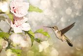 Dreamy image of a Ruby-throated Hummingbird hovering close to a Hibiscus flower poster