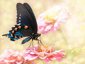 Dreamy image of a Pipevine Swallowtail butterfly on pink Zinnia poster