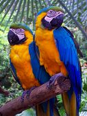 two parrots resting on a branch ** Note: Slight blurriness, best at smaller sizes poster