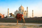 Camel in front of Taj Mahal in sunset , Agra , India poster