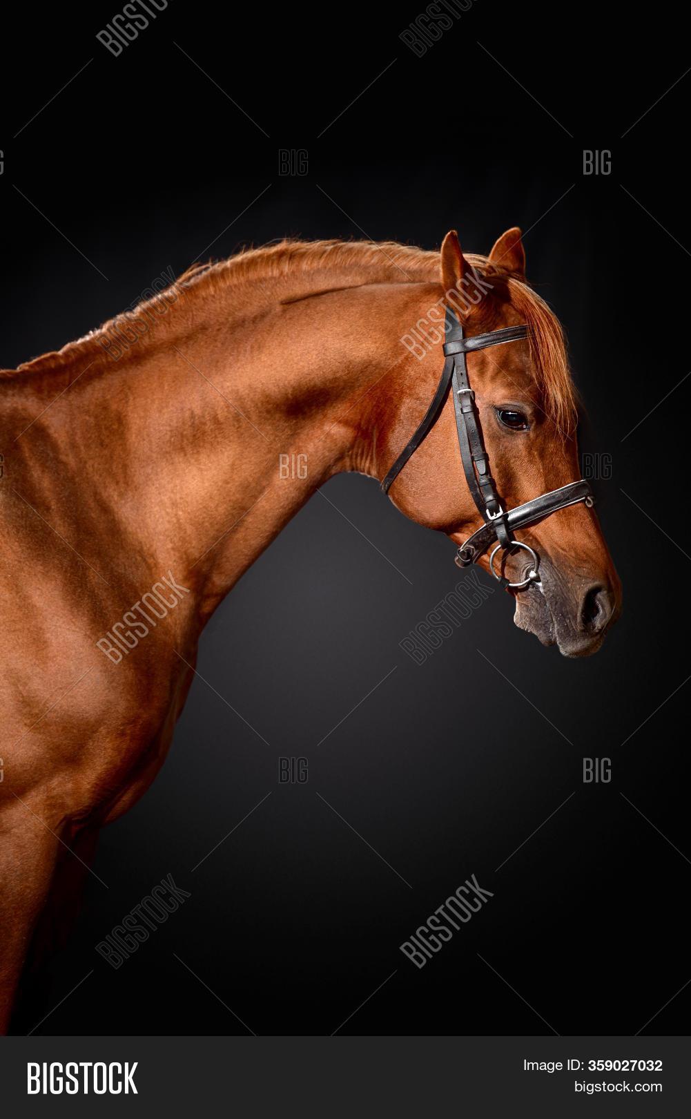 Arabian Horse Portrait Image Photo Free Trial Bigstock