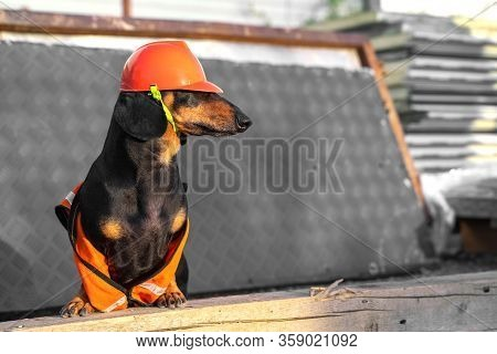 Adorable Dachshund In Equipment Of Handyman And In Protective Orange Helmet Is At Construction Site.