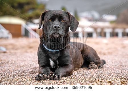 Obedient Big Black Half Breed Mongrel Dog In Blue Collar With Noble Look Lazily Lies On Sand On City