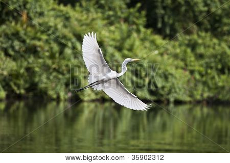 Egret with green background