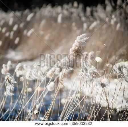 Dry Reeds In A Blurry Background On A Windy And Sunny Spring Day