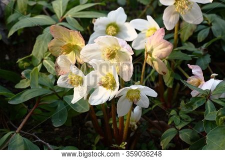 The Day Spring Sun Lights Fresh Flowers Of A Helleborus Niger With Bright White Petals.