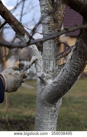 Spring Work In The Garden, Care For Fruit Trees, Treatment Of Trees With Whitewash From Pests