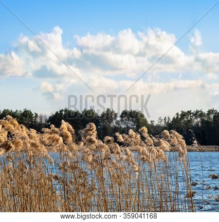 Dry Reeds On The Lake Shore On A Windy And Sunny Spring Day