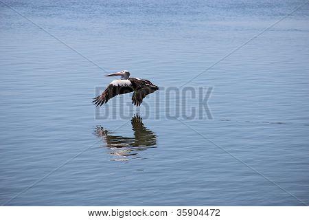 Pelican flying over sea water