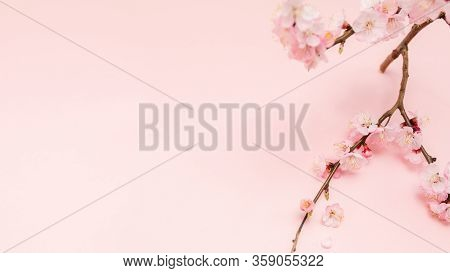 Spring Blossoms Blooming Isolated On Pink Background, Close Up Copy Space, Flowers Tree Branch Bloom