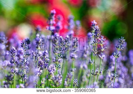 Blooming Lavender In A Field Close-up, In The Summer In The Rays Of The Sun At Sunset. Selective Foc