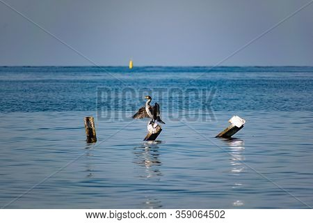 Large Cormorants Sit On Metal Snags In The Middle Of The Black Sea. Medium Sized Bird Species Rest A