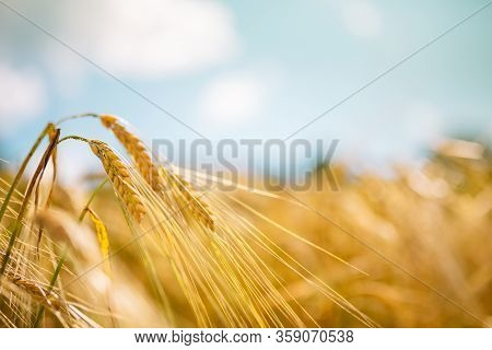 Amazing Agriculture Sunset Landscape.growth Nature Harvest. Wheat Field Natural Product. Ears Of Gol